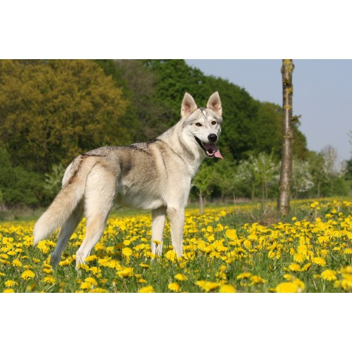 Medium Crop Of Dogs That Look Like Wolves