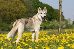 Small Of Dogs That Look Like Wolves