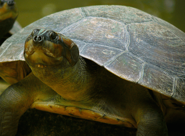 Do turtles make sounds to communicate with each other that we can't hear 2