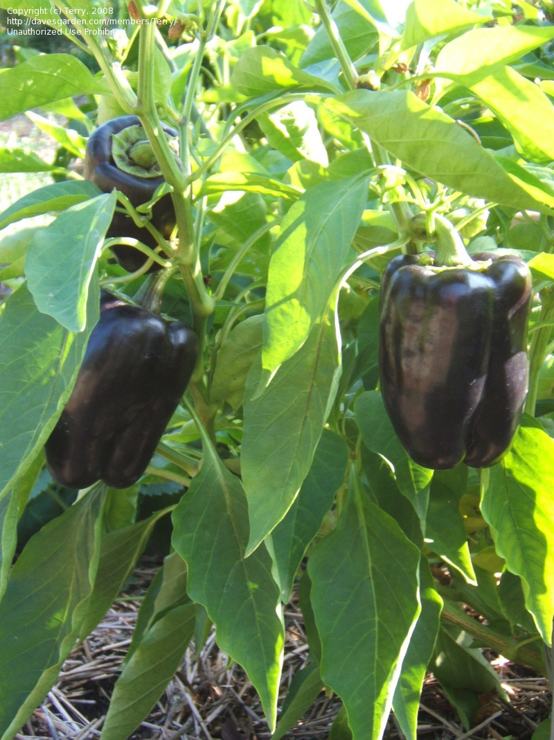 Large Of Purple Bell Pepper