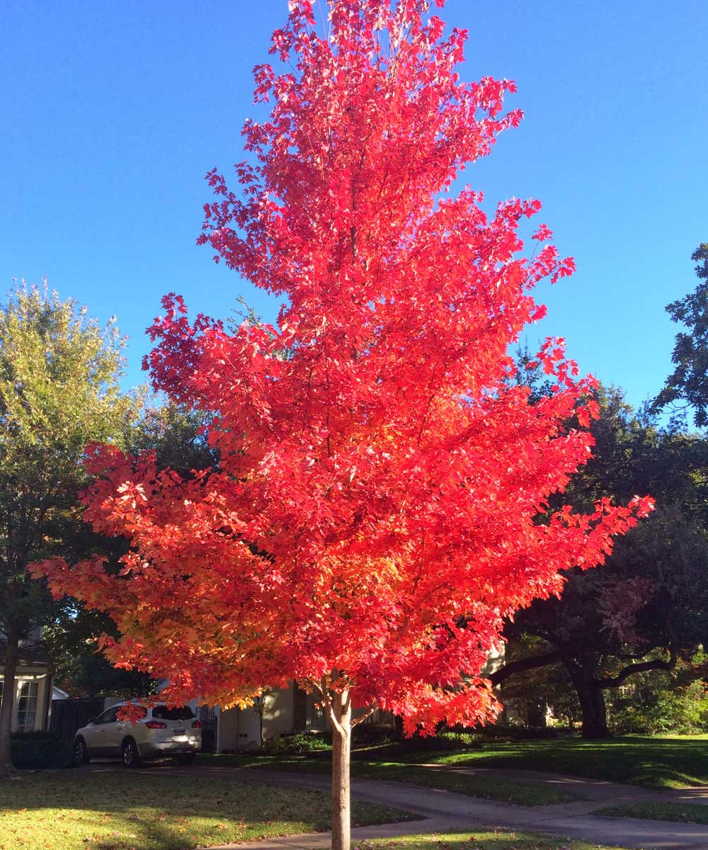 Cushty Dallas Your Source October Glory Maple Trees Plants Landscape Plant Sun Valley Maple Lowes Sun Valley Maple Tree S houzz-03 Sun Valley Maple