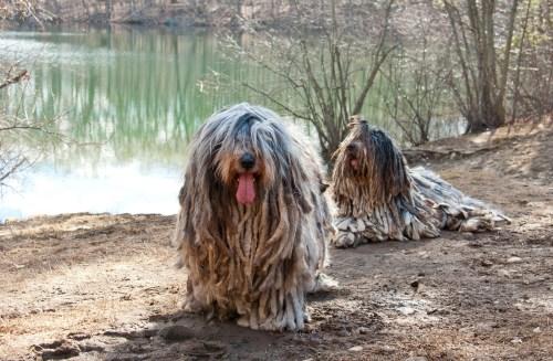 Artistic Coat Coat Bergamasco Sheepdog Club America Dog Breed That Looks Like A Mop Puppy That Looks Like A Mop