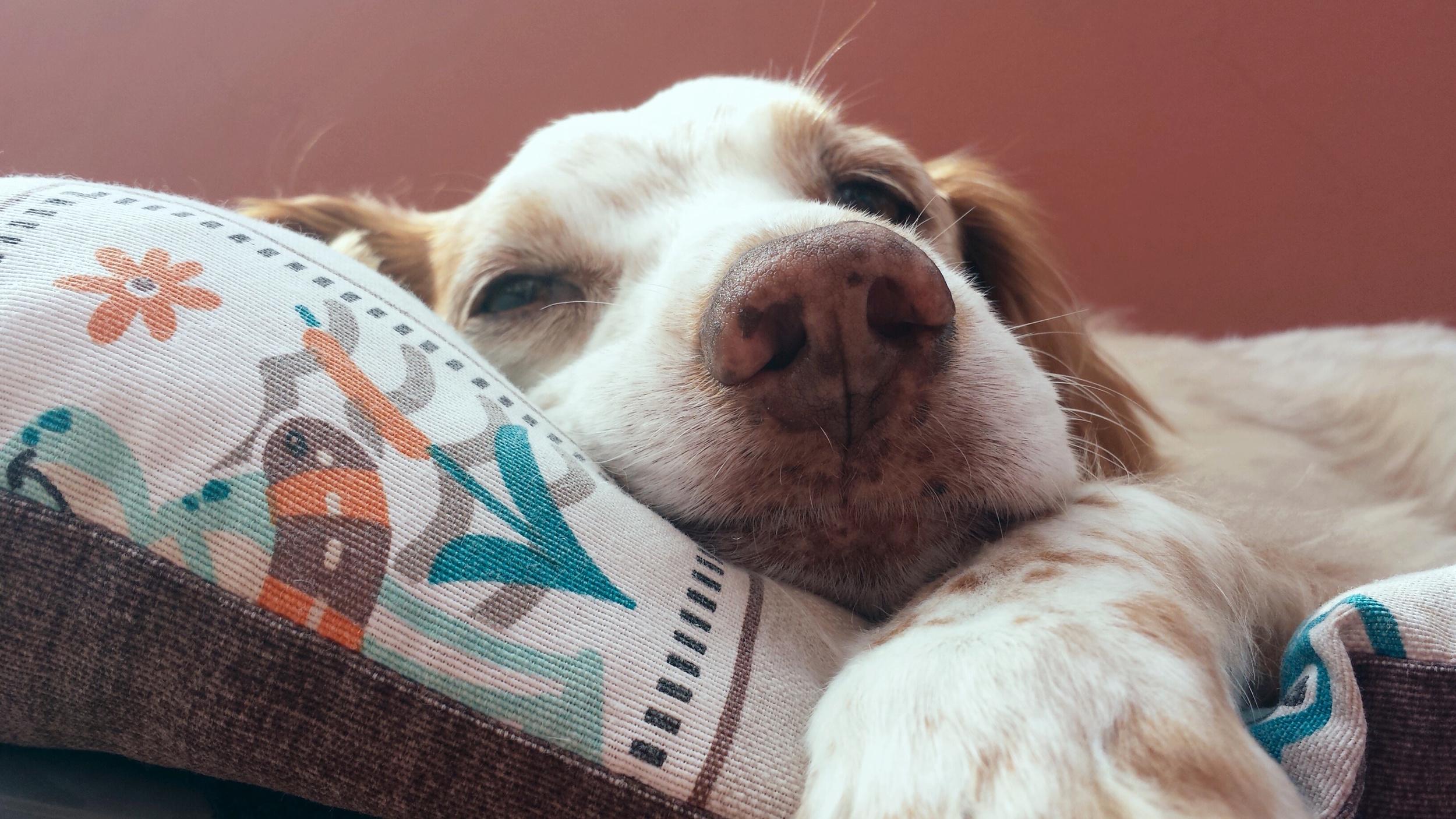 Comfy Heavy Breathing Canine Cancer Osteosarcoma Canine Cancer Dog Nose Bleed After Eating Dog Nose Bleed bark post Dog Nose Bleed