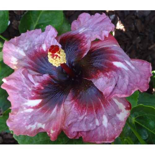 Medium Crop Of Hidden Valley Hibiscus