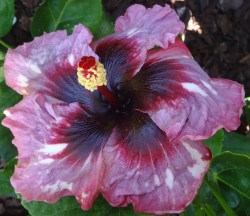 Small Of Hidden Valley Hibiscus