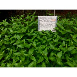 Small Crop Of Is Basil A Perennial