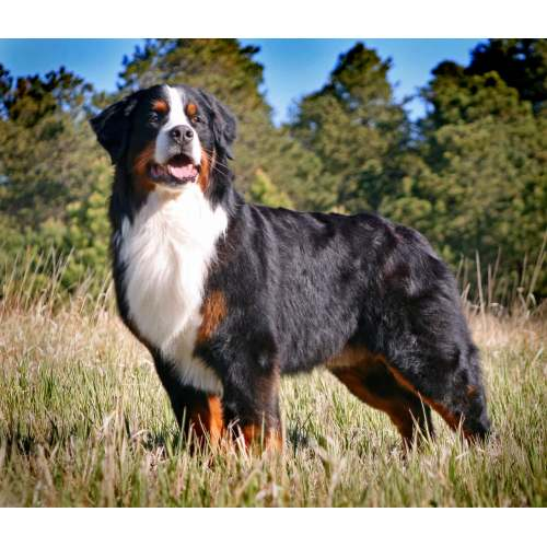 Medium Crop Of Bernese Mountain Dog Lifespan