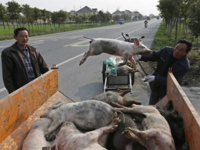 CHINA TODAY: Good News About Dead Pigs - Business Insider