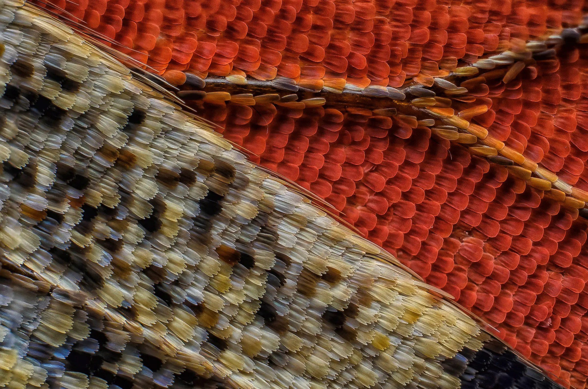 Scales of a butterfly wing underside