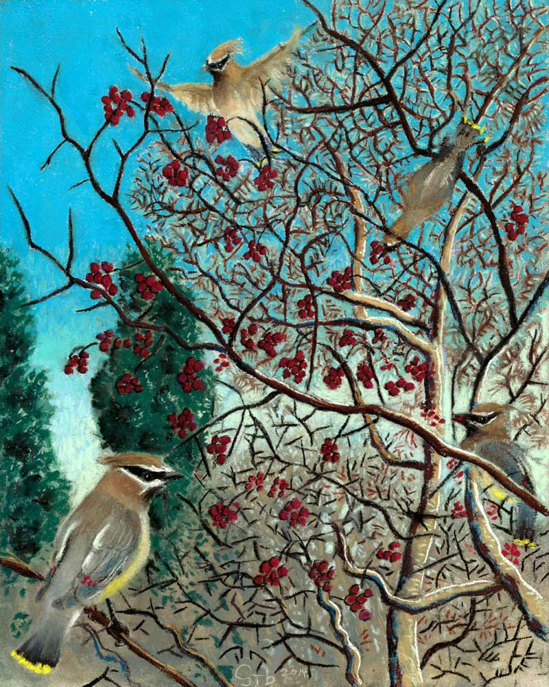 Family Feast, a pastel by Stephanie Thomas Berry featuring a flock of Cedar Waxwings feasting on hawthorn berries
