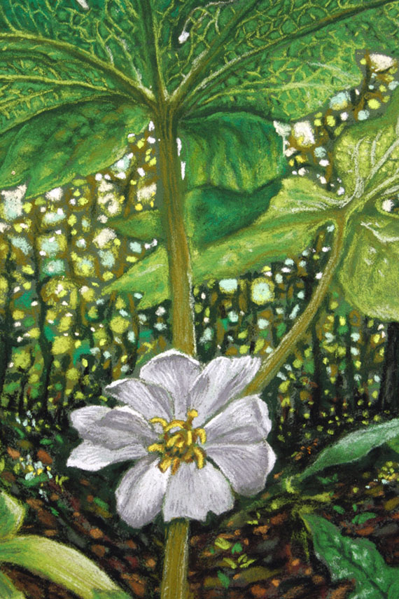 Mayapple, a pastel by Stephanie Thomas Berry