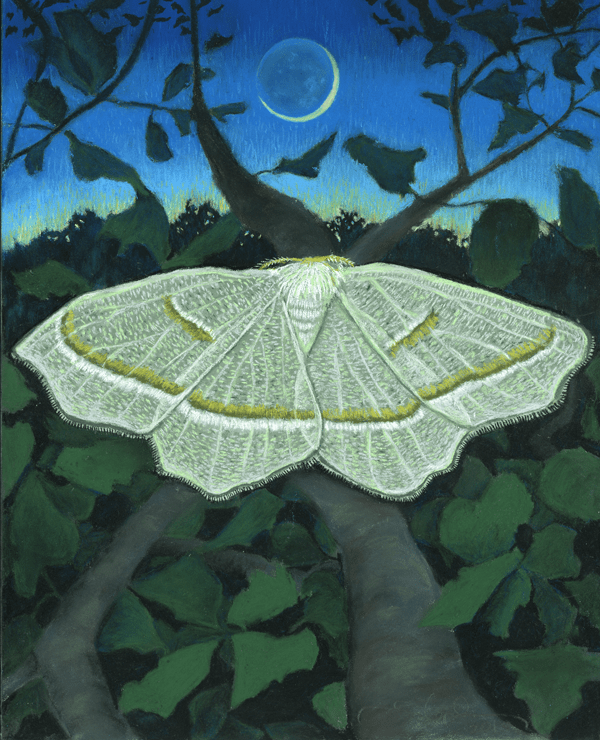 Pale Beauty, a pastel by Stephanie Thomas Berry featuring the Pale Beauty Moth