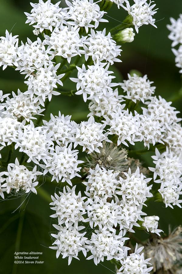 Ageratina altissima, Eupatorium rugosum, Ageratum altissimum, White Snakeroot, Milk Poison Plant