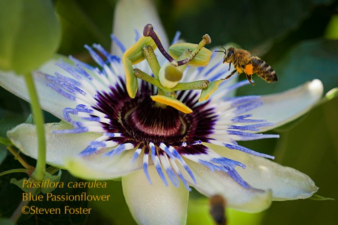 Native to Argentina, Brazil and Paraguay, Passiflora caerulea, is one of three semi-hardy species of passionflowers, and is widely cultivated as a window box plant or gardens in southern Europe, surviving temperatures of -15°C. It was cultivated in France as early as 1625, and first document in London in 1629. Today it is one of the most widely-grown passionflowers in horticulture, and source of many hybrids. These photos were taken in a garden in Podgorica, Montenegro.