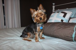 Small Of Yorkie Puppy Cut