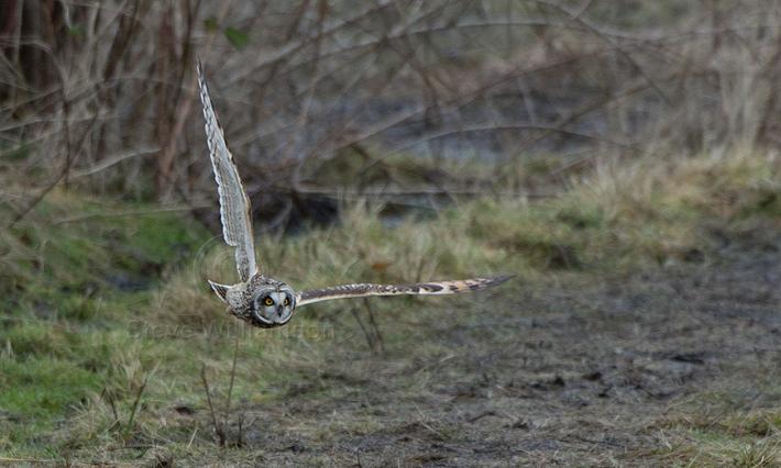 Swooping-Shortie2.jpg