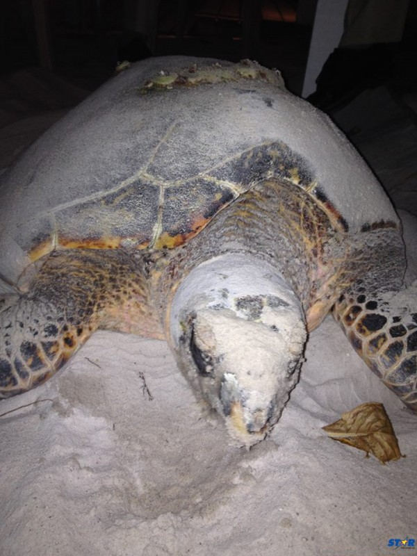 """""""Brown Sugar"""" returned to Sugar Beach on May 26th: The Green Sea Turtle first nested there three years ago.The new nest will be cordoned off and protected while the baby turtles develop."""