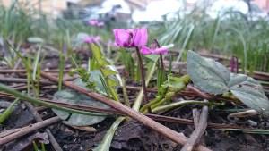 камнеломка цветет уже в марте на улицах стокгольма