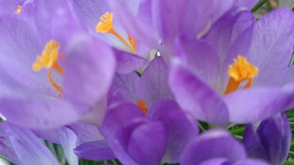 крупно цветущие крокусы в марте в стокгольме