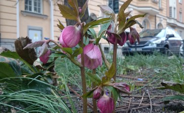 певые цветы на улицах стокгольма в марте