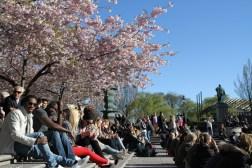 люди фотографируются на фото цветущей сакуры в стокгольме