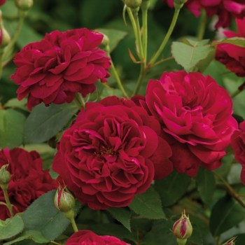David Austin Shrub Rose Darcey Bussell available from Strawberry Garden Centre, Uttoxeter