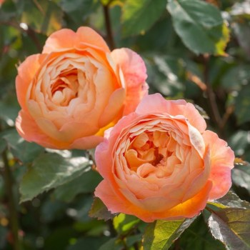 David Austin Shrub Rose Lady Emma Hamilton available from Strawberry Garden Centre, Uttoxeter