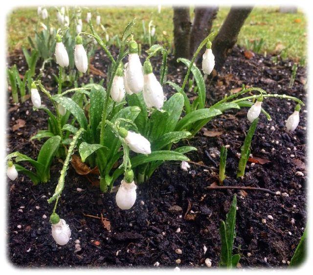 Die Schneeglöckchen sind offensichtlich überzeugt, dass der Winter vorbei ist. Foto: Heiko Weckbrodt