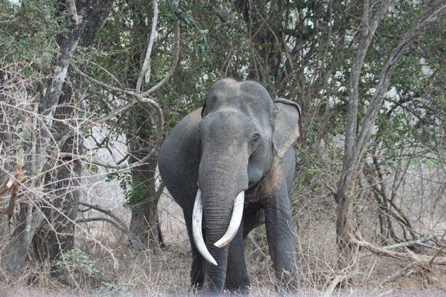Asian elephant tusker