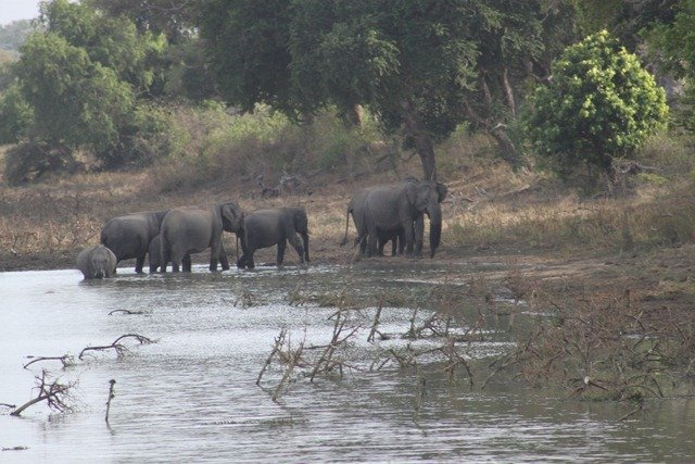 Asian elephant group at water hole