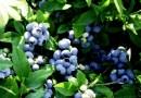 Садовая черника может стать экспортным хитом Польши