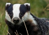 badger-facts