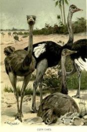 ostrich-attacks