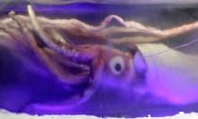 Giant_squid