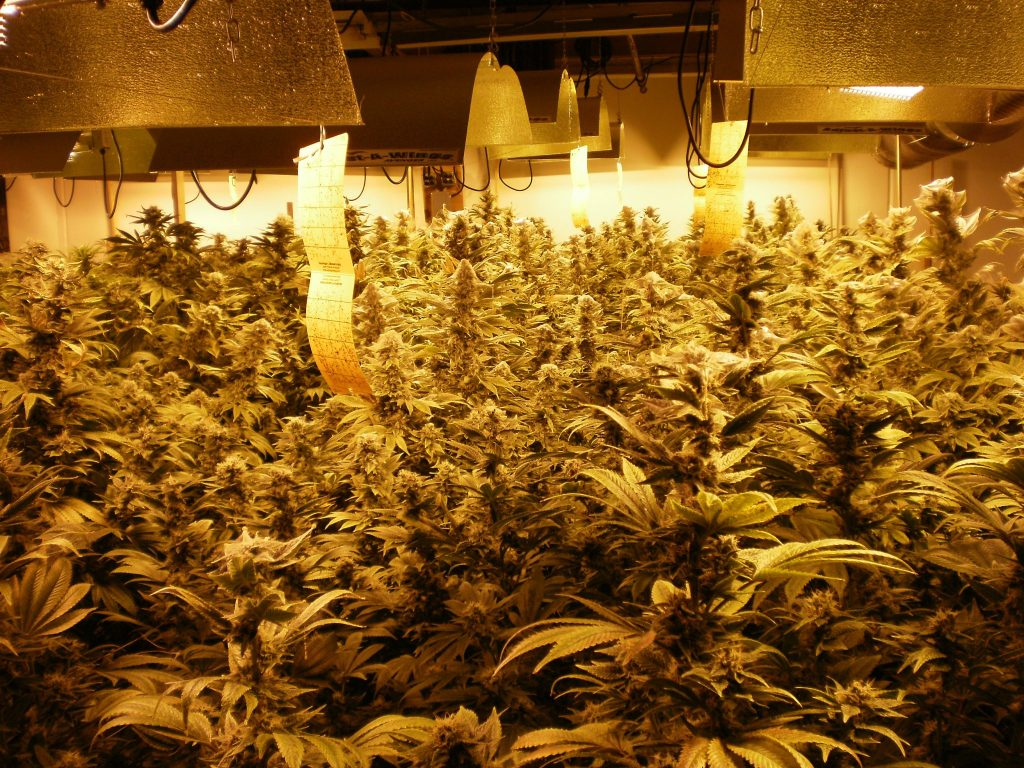 Hella Healthy Weed Plants