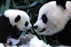 Panda bear poster showing mother and her baby