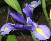 blue-japanese-iris1