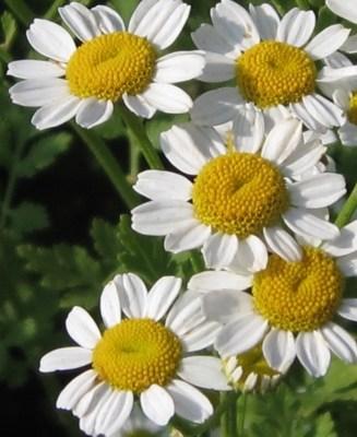 chrysanthemums-flowers