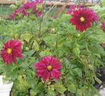 Dahlia plant 2