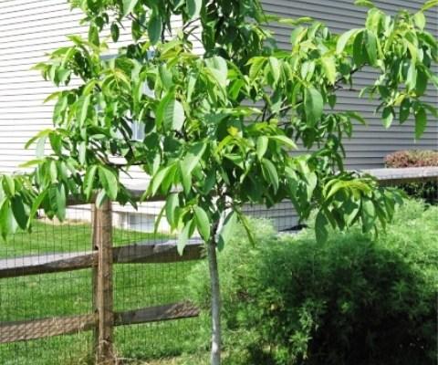Walnut Tree - 5 years old