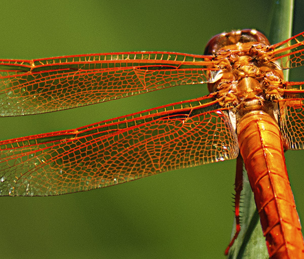 flame skimmer dragonfly detail