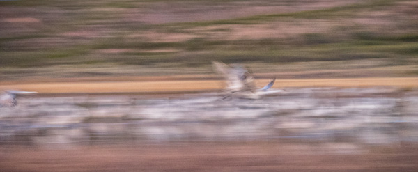 sandhill cranes photographed at takeoff