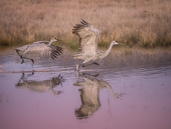 sandhill cranes with reflection photo