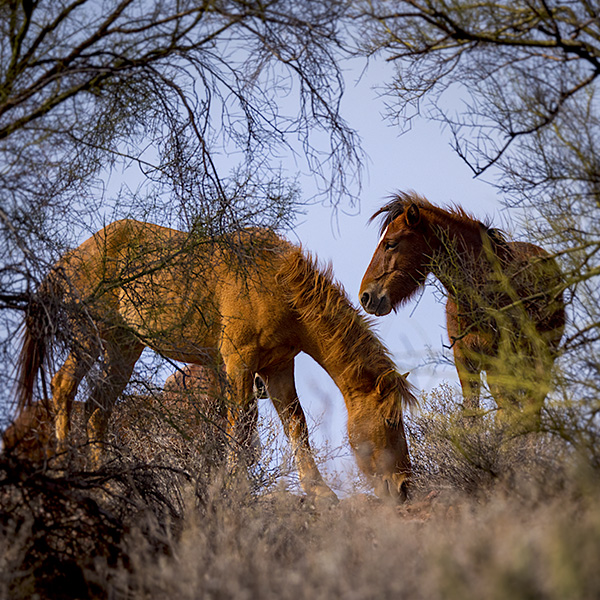 salt river horses arizona