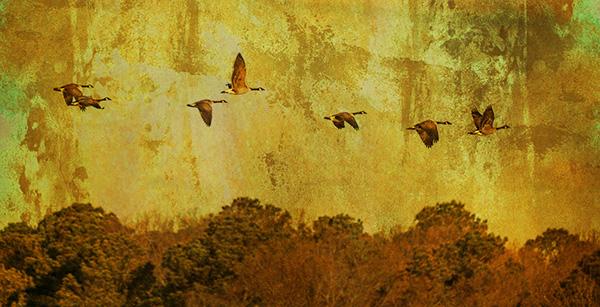 geese in flight art bob coates photography