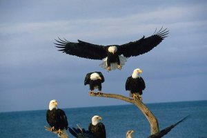 Mature Bald Eagles roosting in Homer