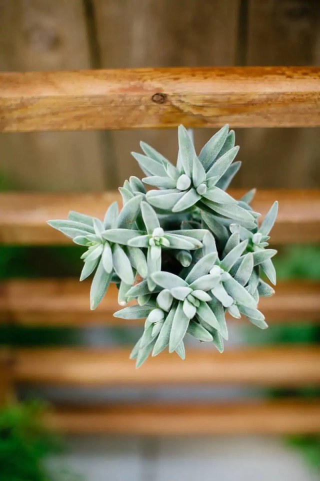 Simple DIY succulent wall accent | sugarandcloth.com