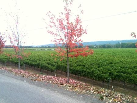 img 4487 California Wine Country Half Marathon, Healdsburg, 2011