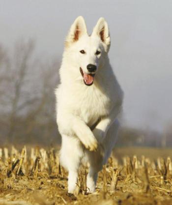 White Swiss Shepherd Dog2