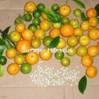 CITRUS LIME CALAMANSI FRUIT TREE